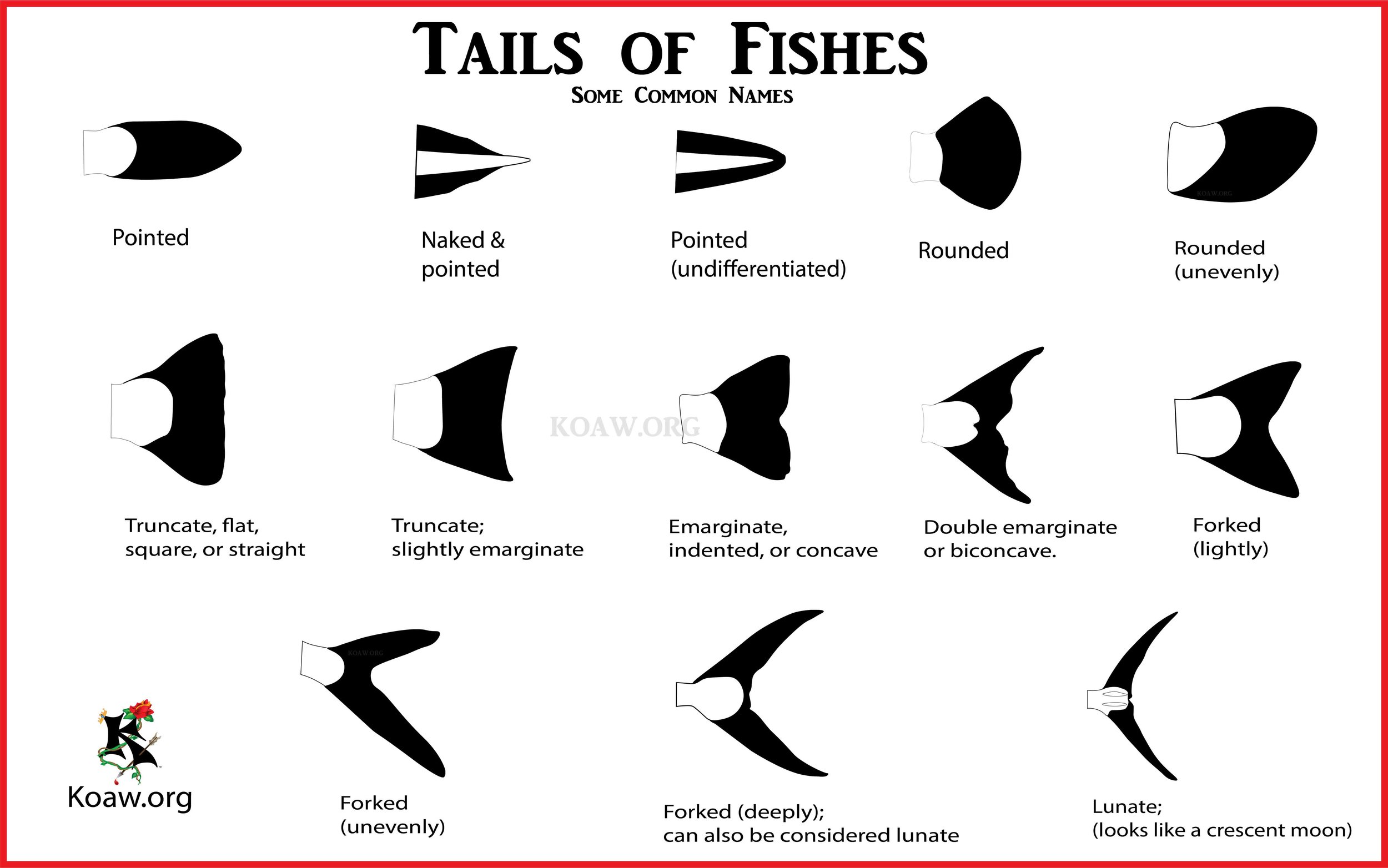 Fish Tails - Caudal Fins of Fishes - By Koaw