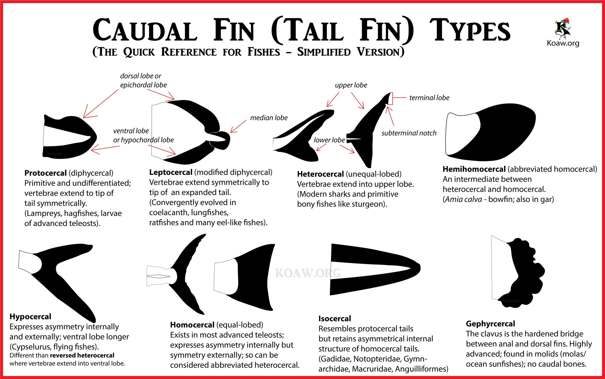 Caudal Fin (Tail Fin) Types of Fishes - By Koaw