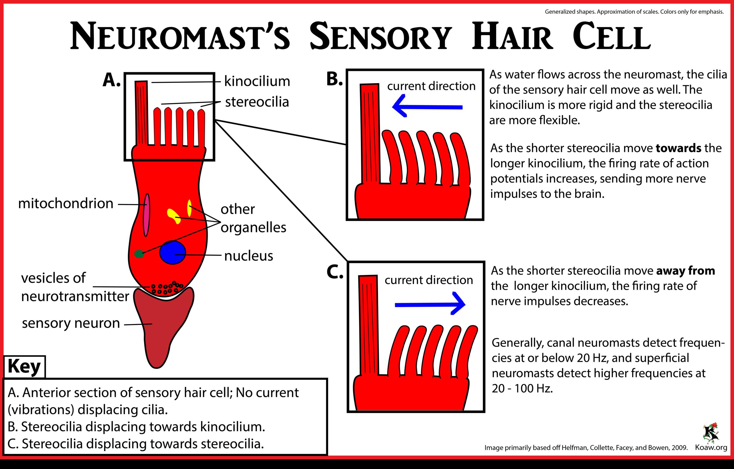 Sensory hair cell Koaw Org.png
