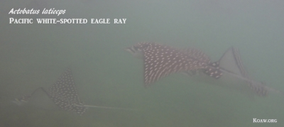 Aetobatus laticeps -  Pacific white-spotted eagle rays
