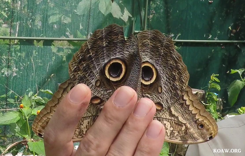 Morpho Owl Koaw Org.png