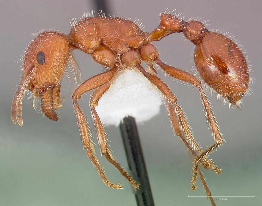 Pogonomyrmex maricopa by April Nobile, from AntWeb  https://www.antweb.org/bigPicture.do?name=casent0005712&shot=p&number=1