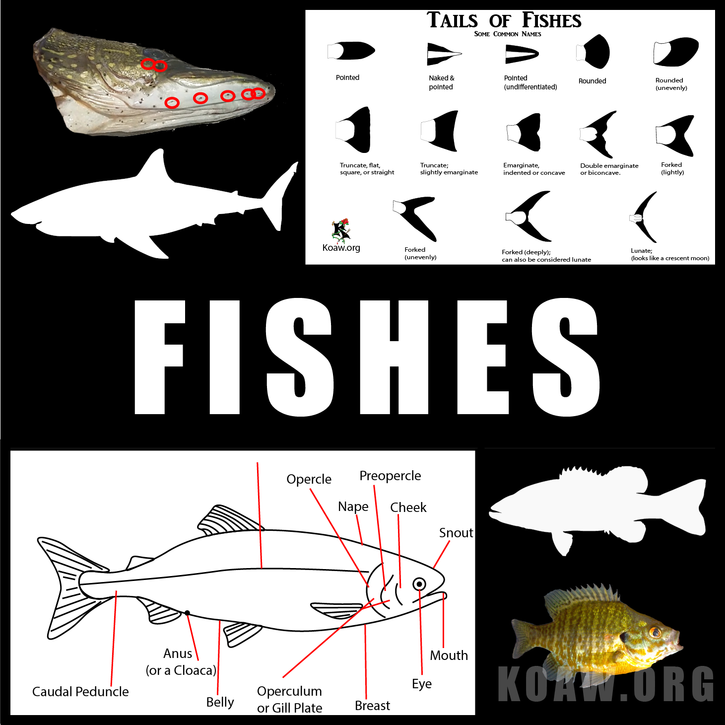 fishes koaw org.png
