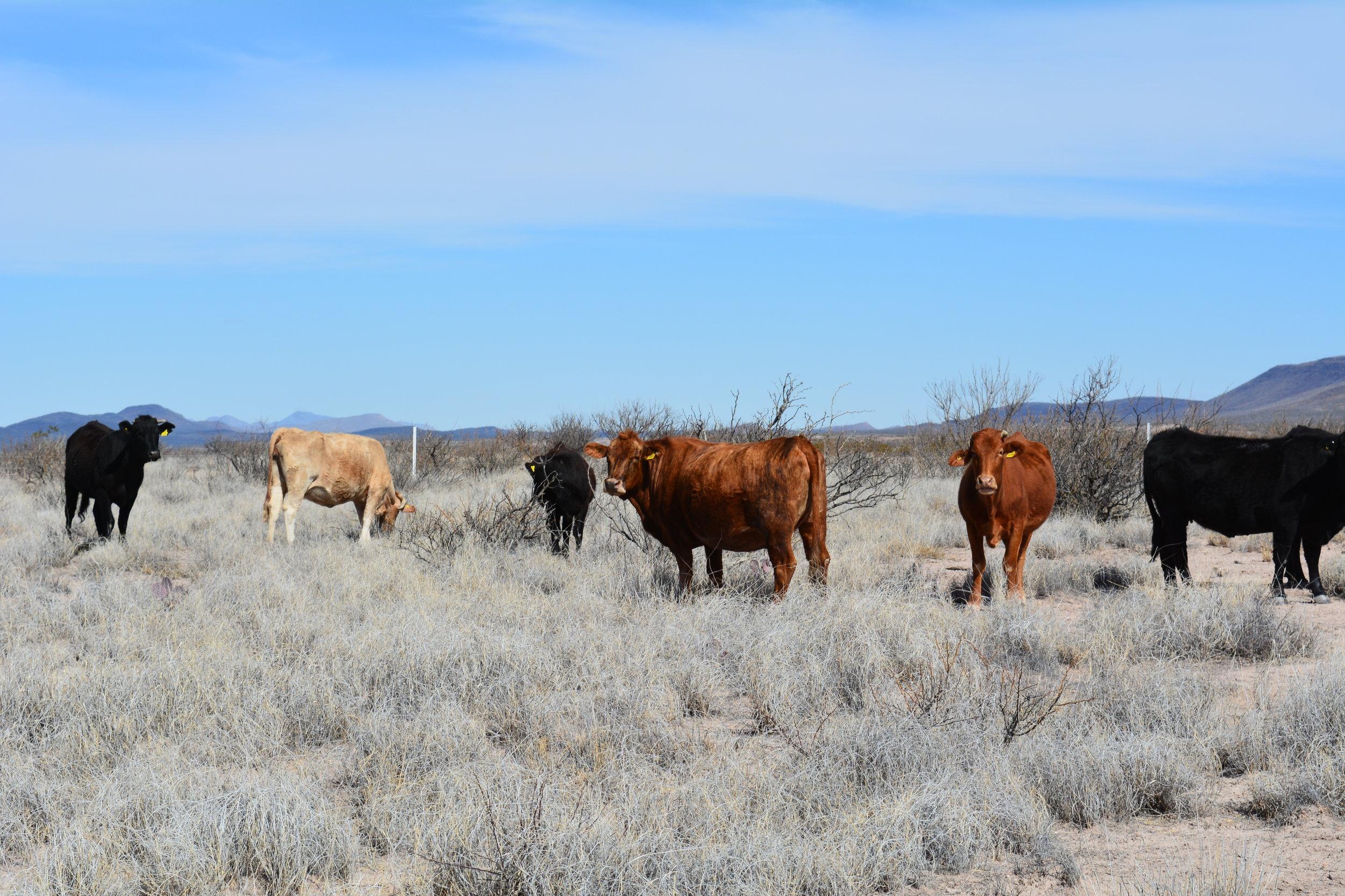 Animals grazing old forage
