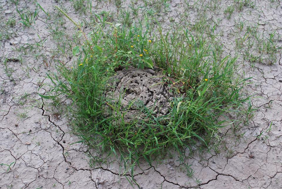 Spreading of bermuda grass