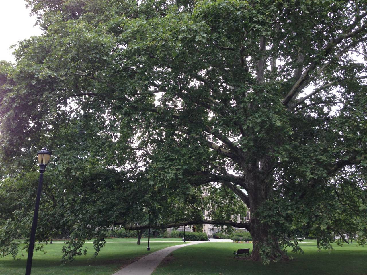 Beech Tree - guess which NY campus this is