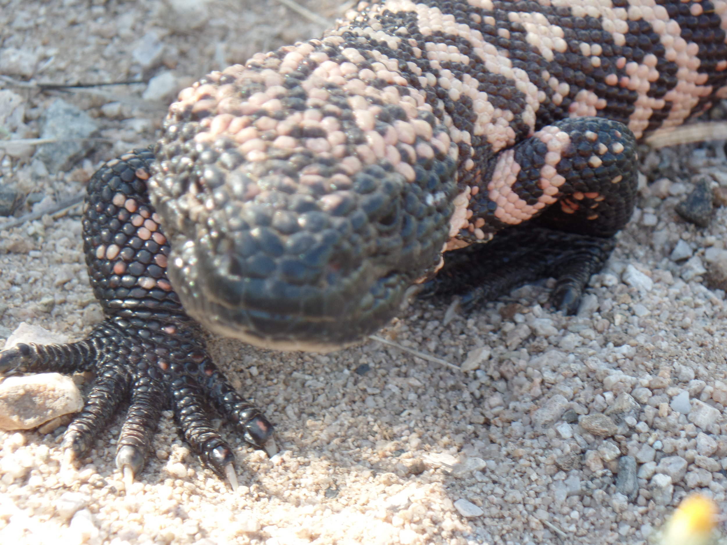 Gila Monster encountered during my training.