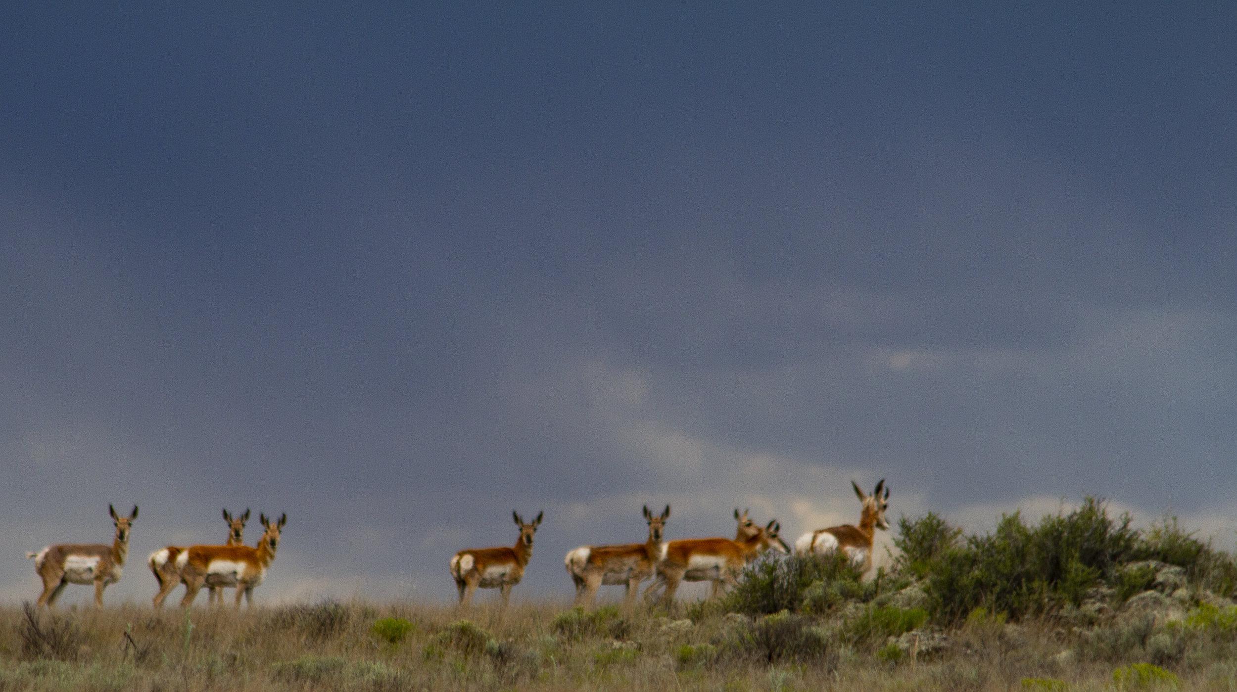 Antelope - near Quemado, New Mexico
