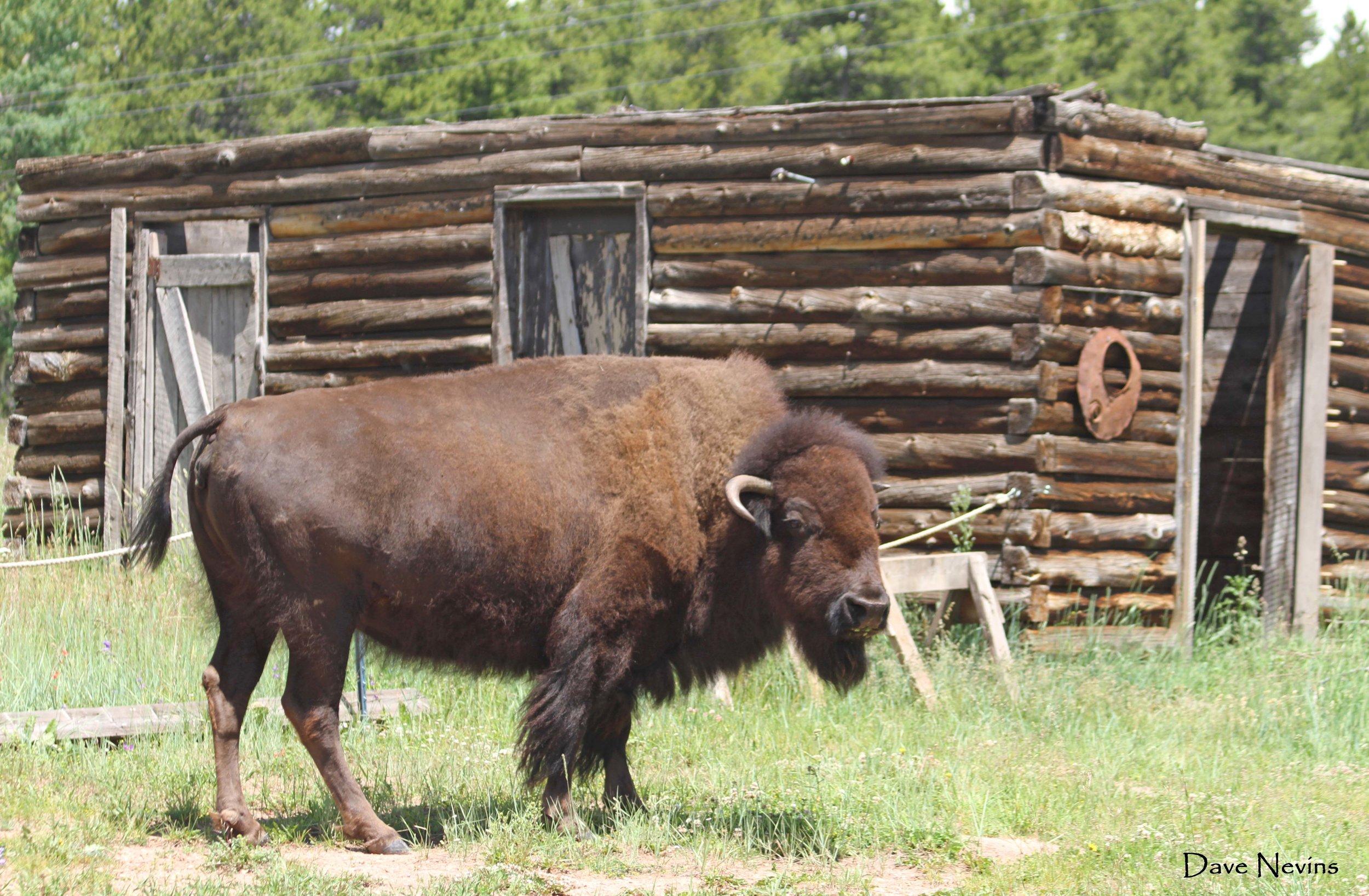 Buffalo - Colorado