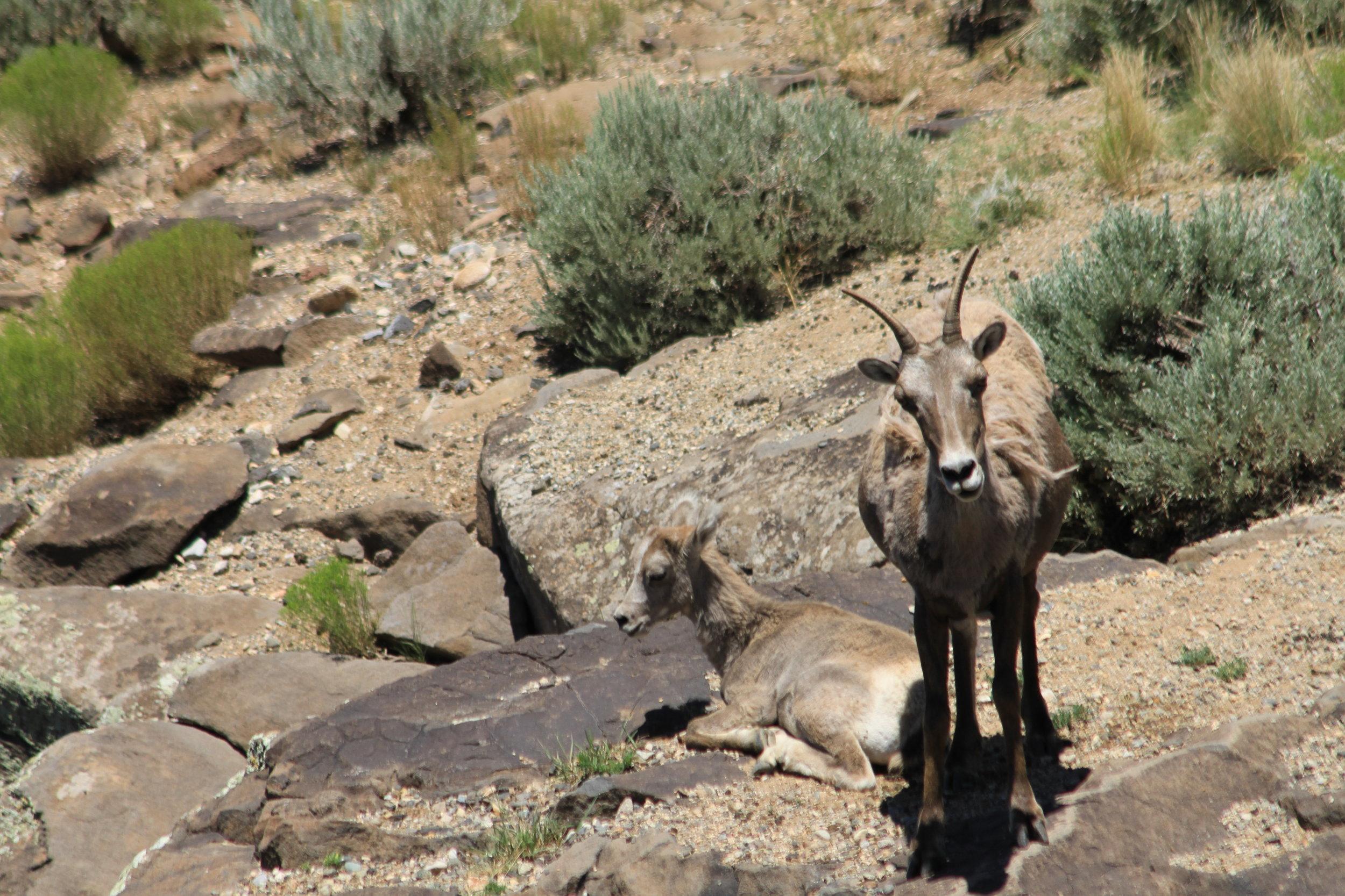 Bighorn Sheep - Taos, New Mexico
