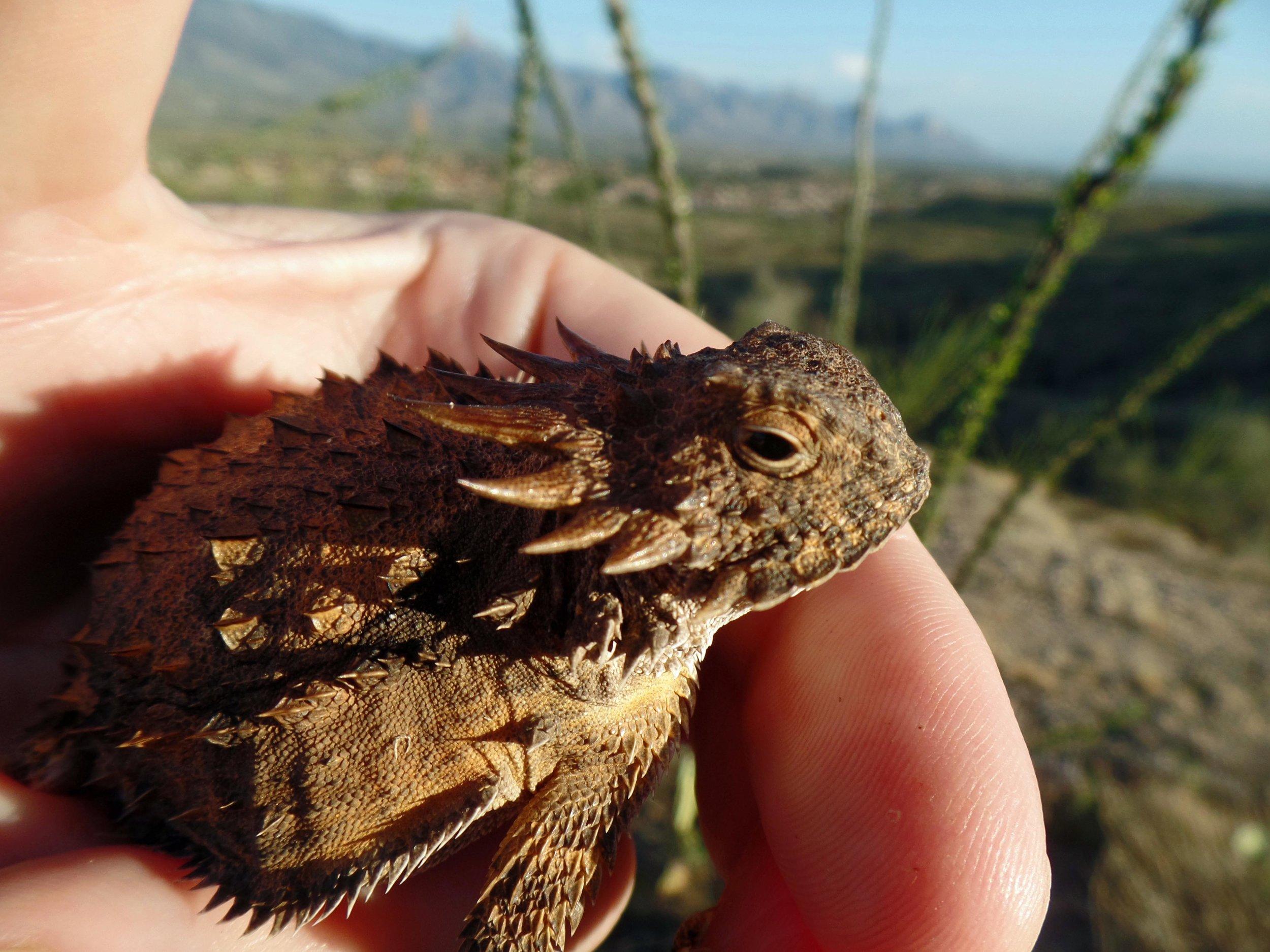 Horny Toad - Seen on my run - Catalina, Arizona