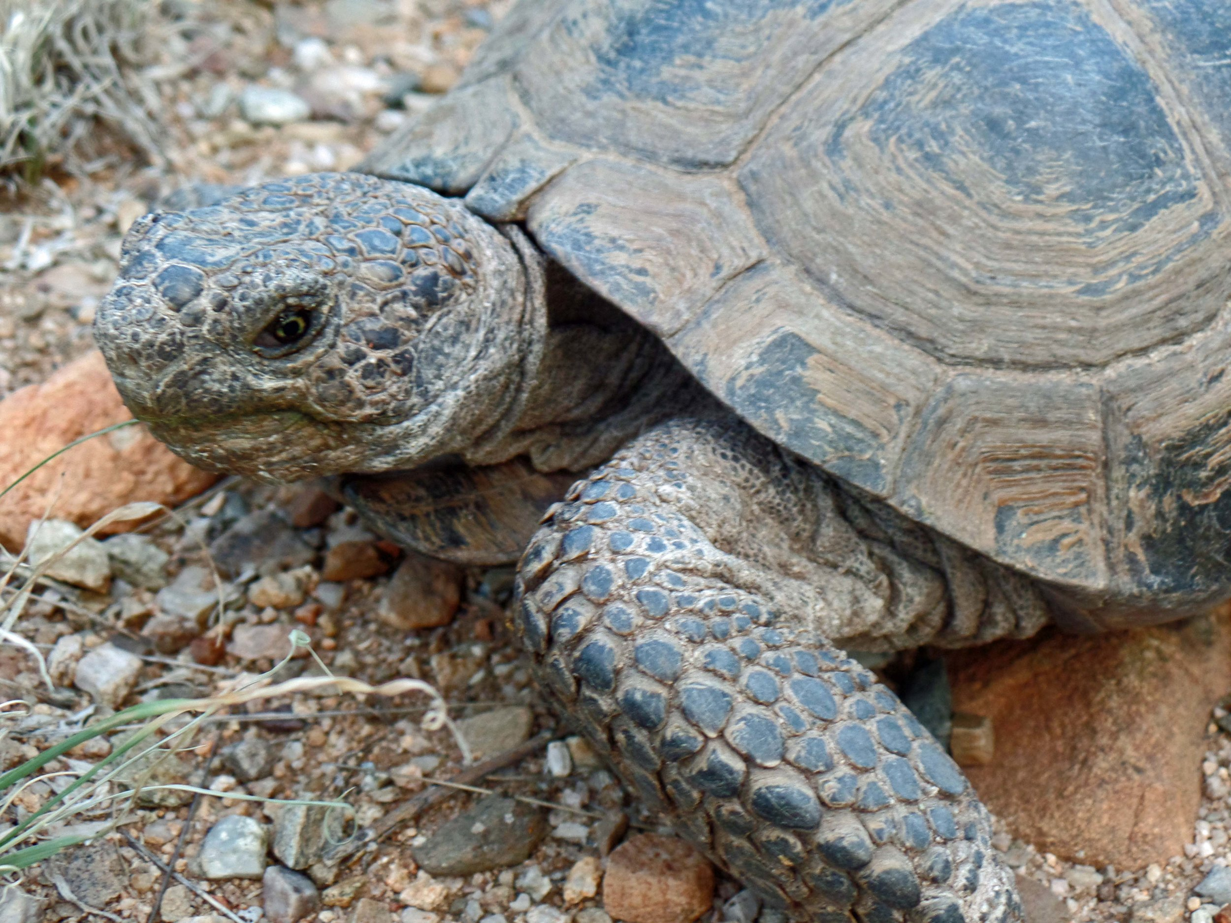 Desert Tortoise - Seen on my run - Catalina, Arizona