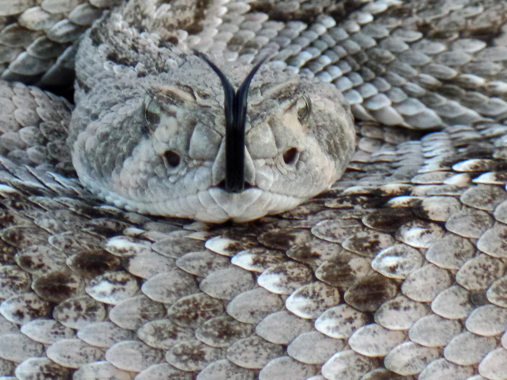 Rattlesnake - Seen on my run - Catalina, Arizona