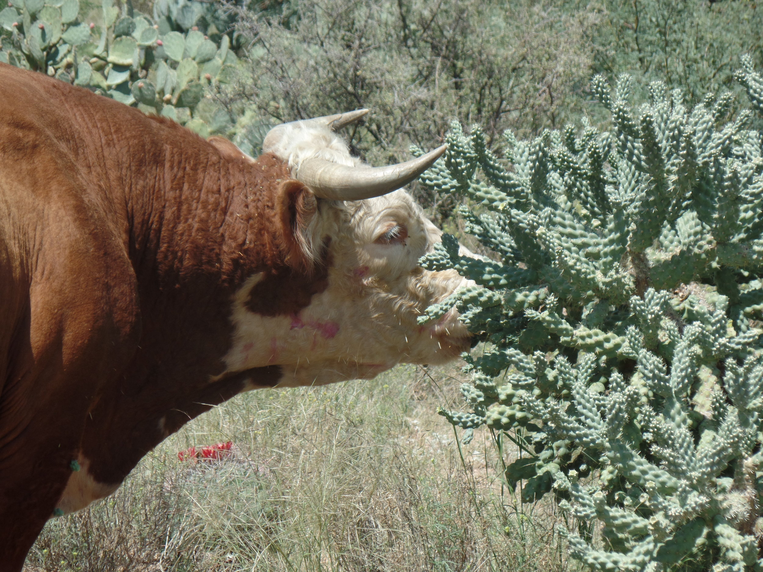 Cow eating cactus (with Spines) - Seen on my run - Catalina, Arizona