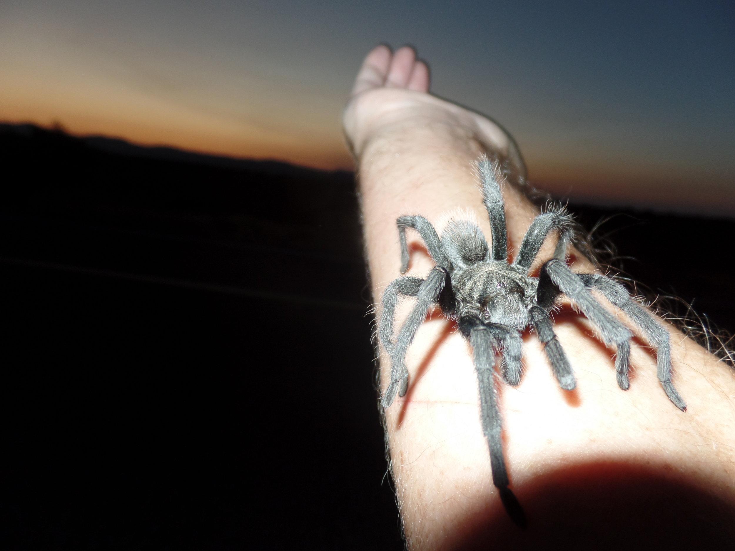 Tarantula - Seen on my run - Catalina, Arizona