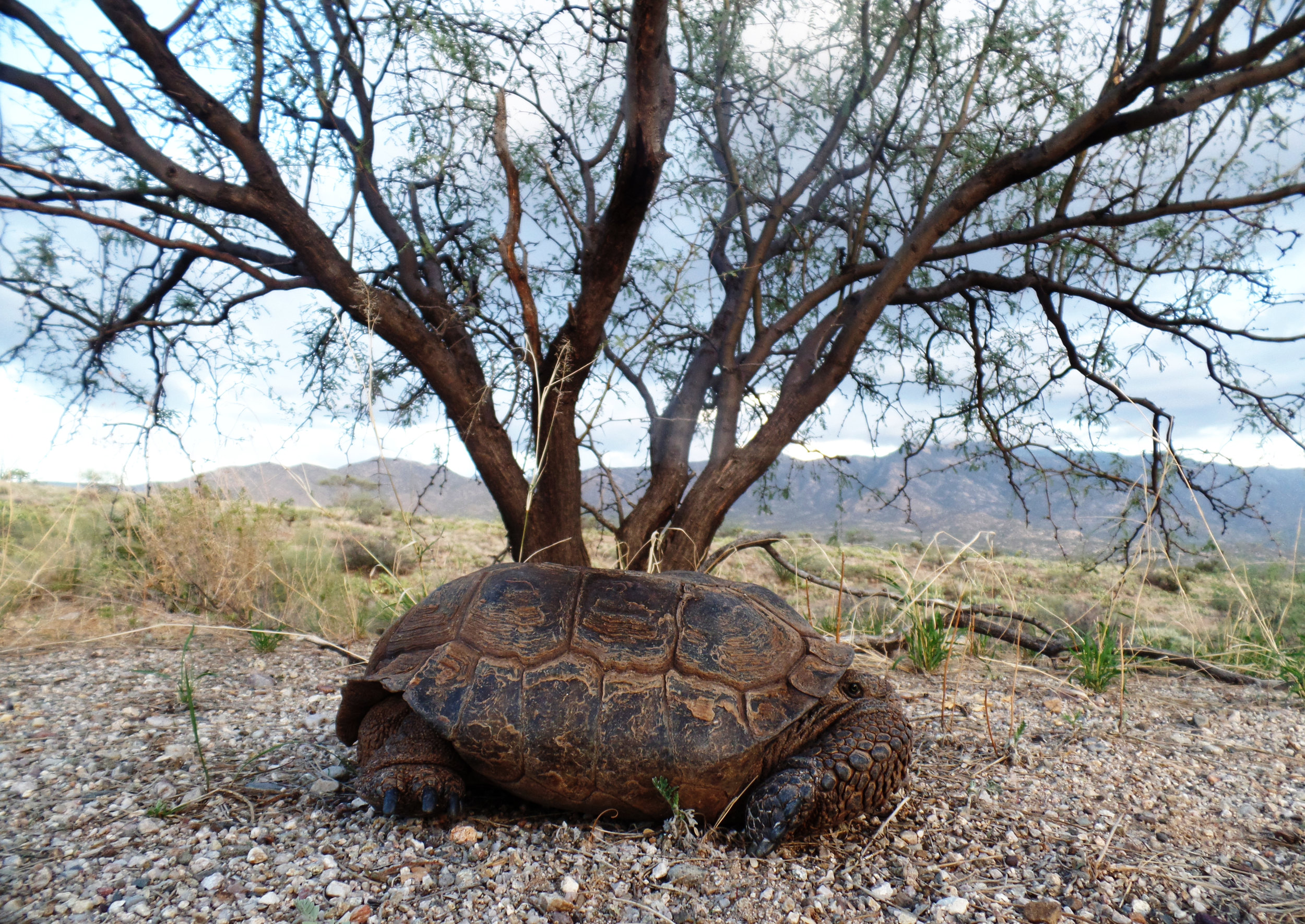 Desert Tortoise seen on my run. First one I have seen in 2018. Should see a number of them in the next month+.