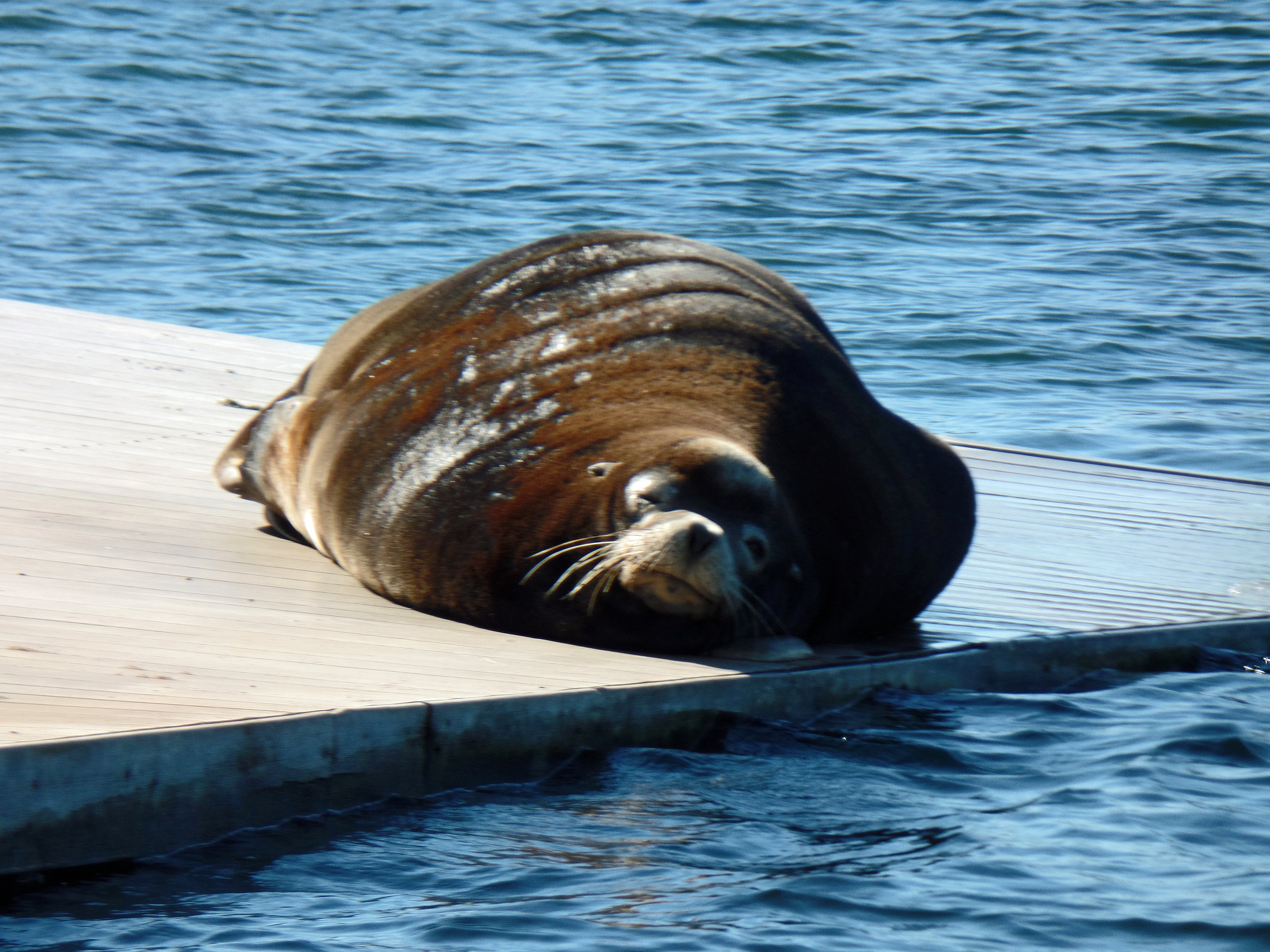 This sea lion has traveled (or hitched a ride) 190 river miles up the Columbia River (The Dalles, Oregon)