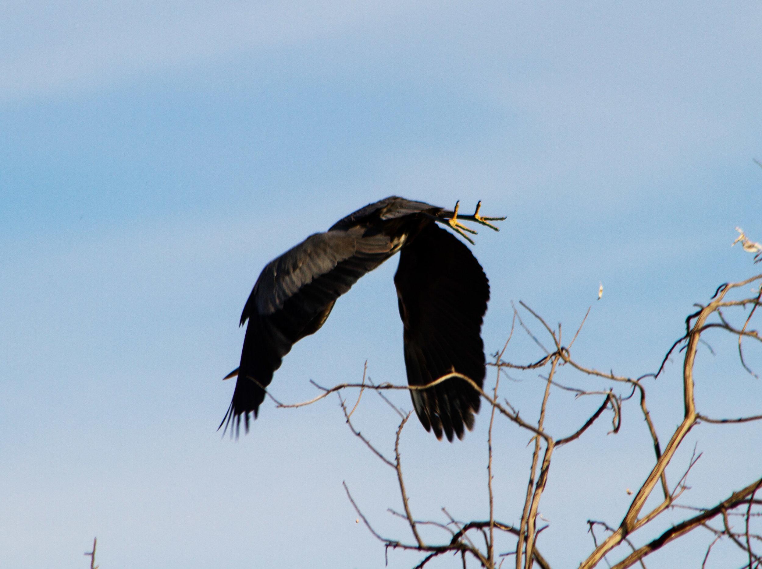 Great Blue Heron - Eastern Oregon (photo #1)