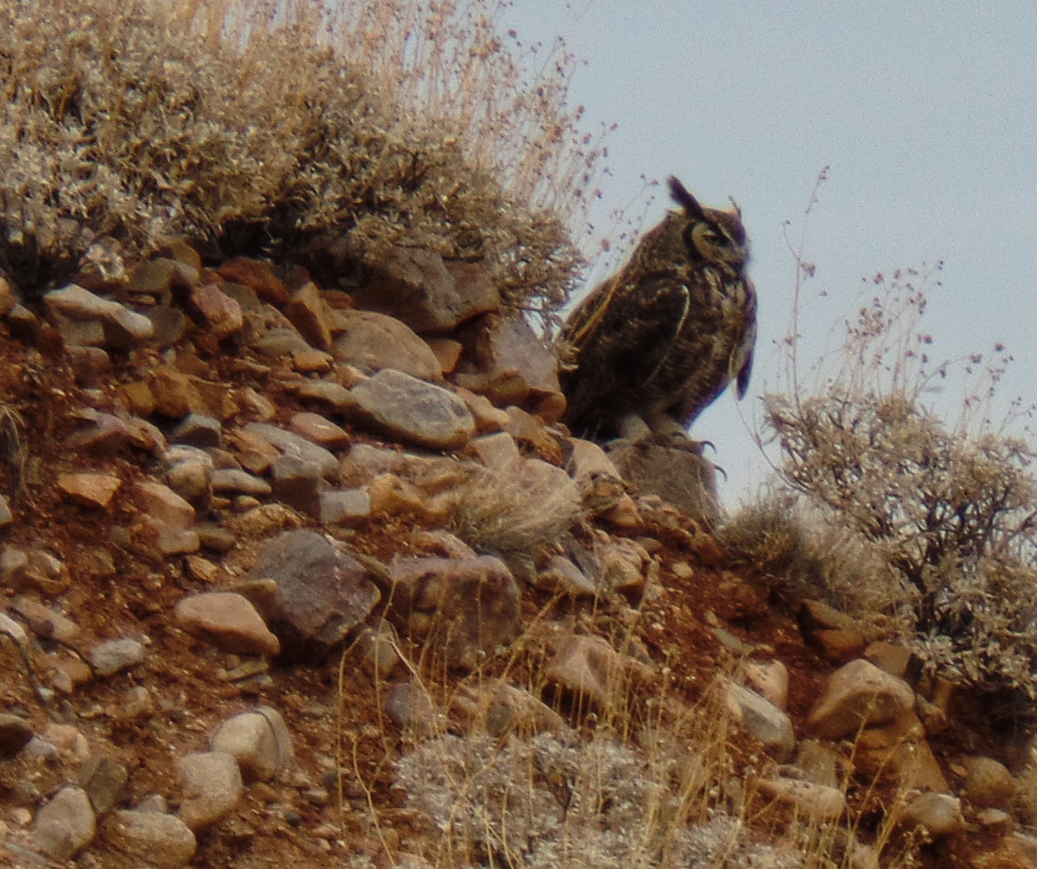First photo of the owl on the hill. I have seen this owl in this area on 4 or 5 runs.
