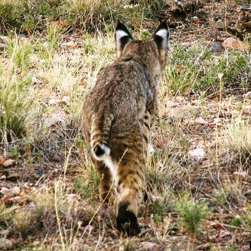 Following the stalking bobcat. This young bobcat seemed to be more interested in watching the jack rabbit then becoming the hunter.  #bobcat #nature #naturephotography #wildlifephotography #wildlife #arizona #desert🌵 #davenevinsmedia #seenontherun #seenonmyrun #typeoneruntucson #type1d #type1athlete #type1adventures #diabetes #tucson #catalina #desertsouthwest #runaz #running #trailtime #trailrunning