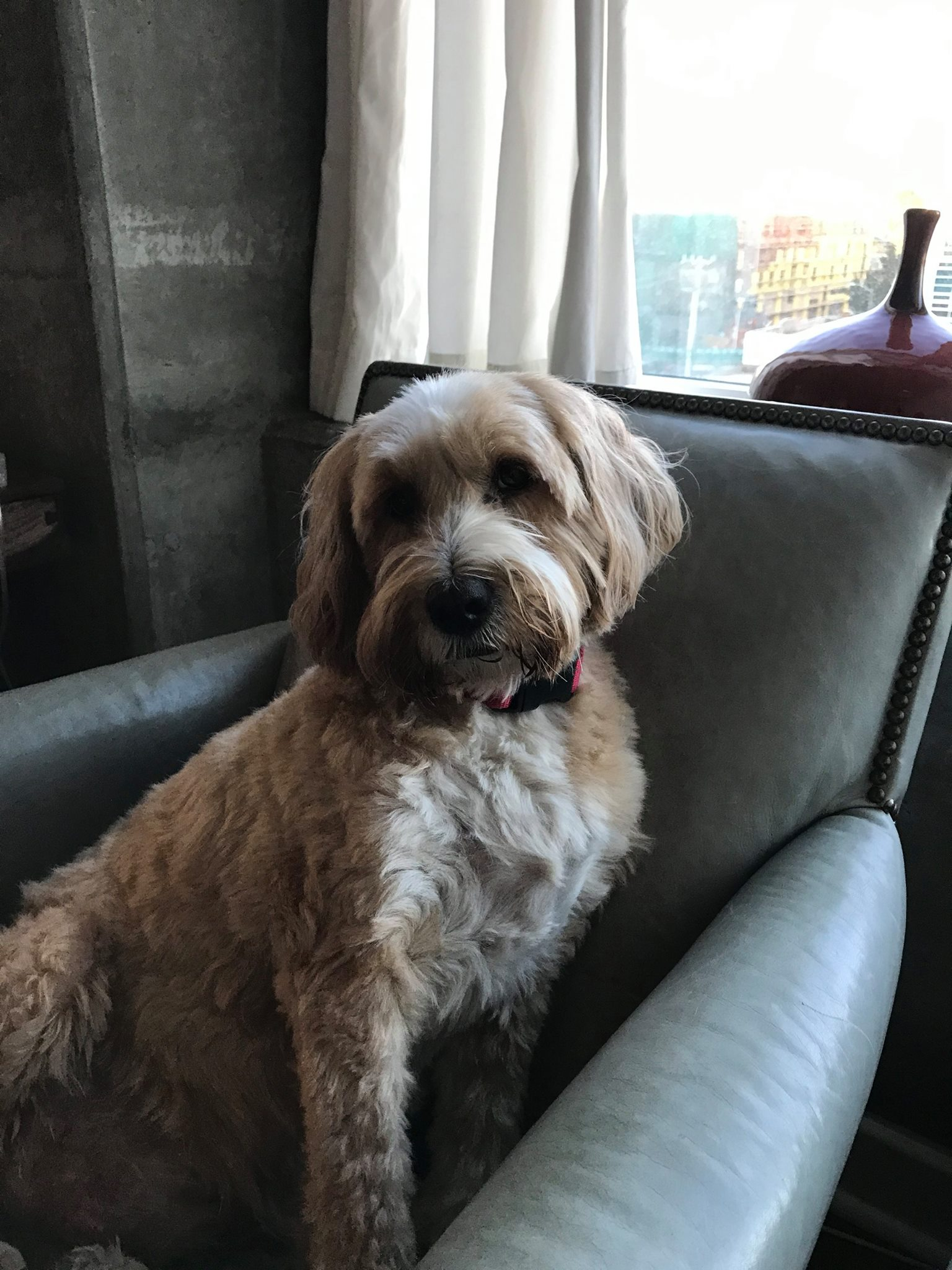 Cooper - My adopted Tibetan Terrier