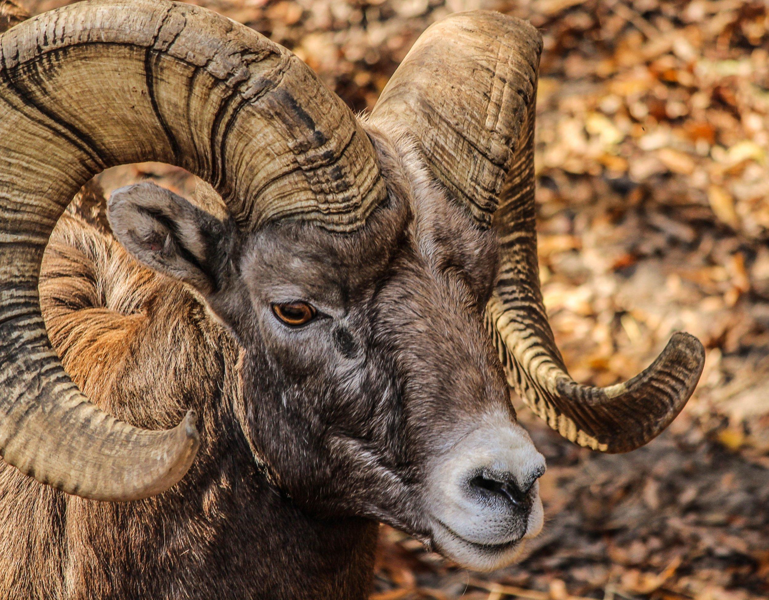 animal-bighorn-ram-closeup-64211.jpg
