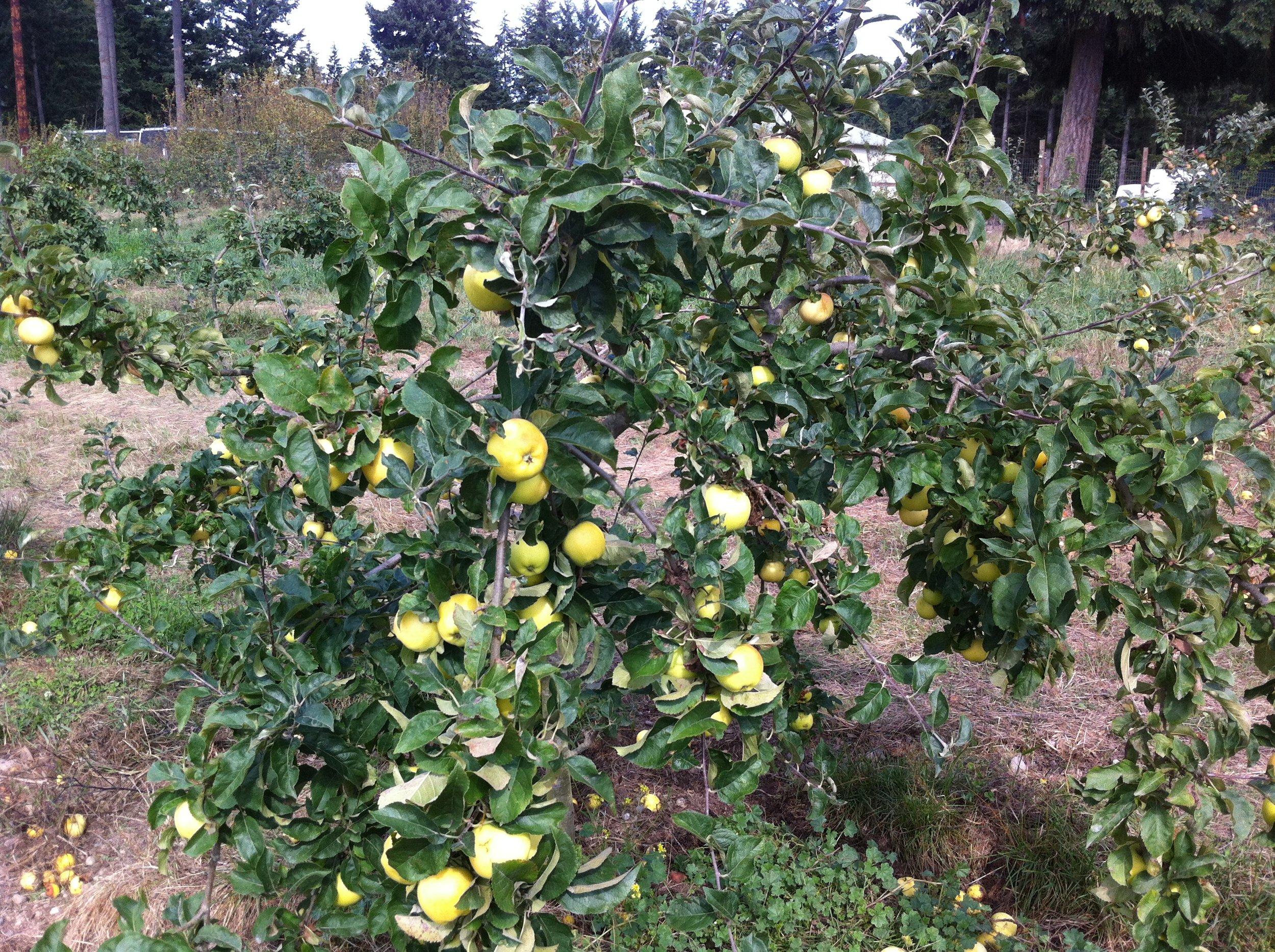 apples_2014.JPG