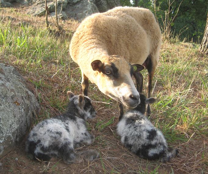 shetland ewe w lamb.png