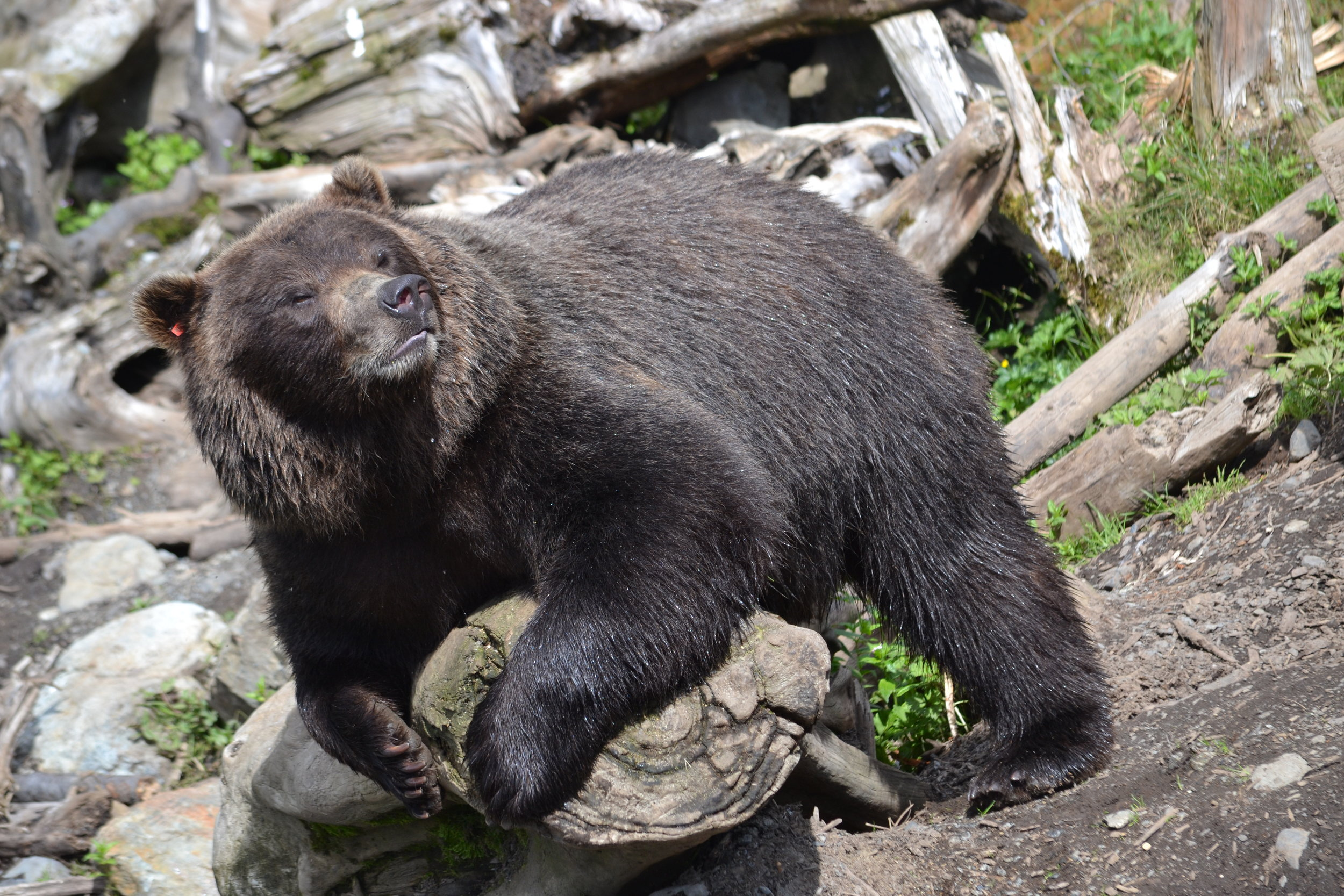 Toby, Fortress of the Bear's female brown bear.
