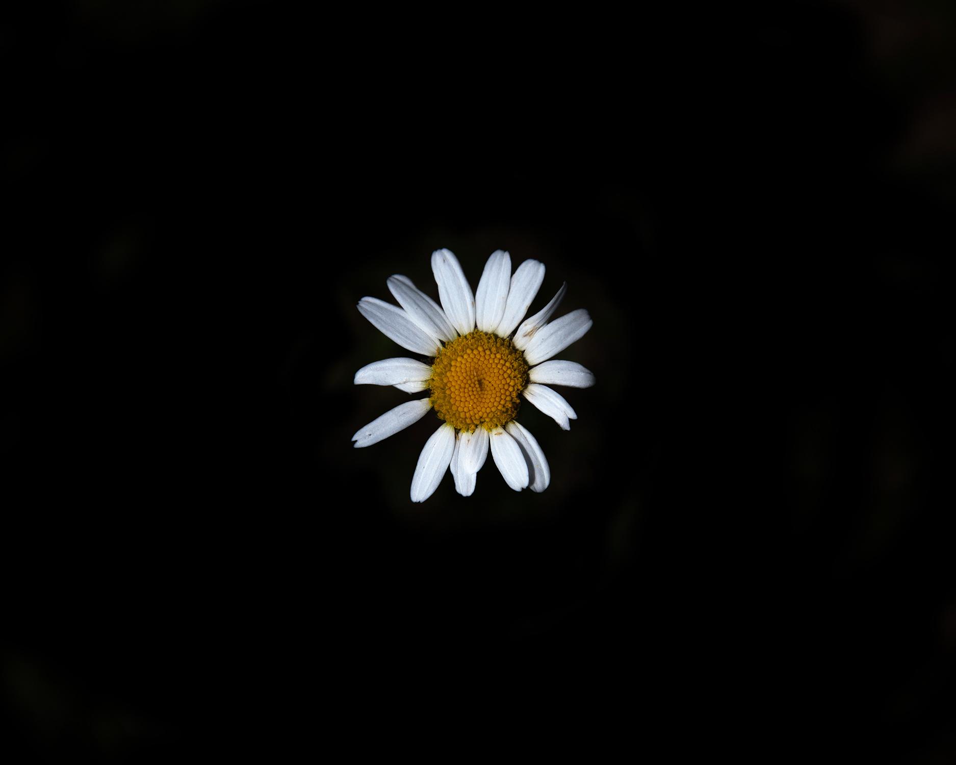_MG_9969-daisy7.jpg