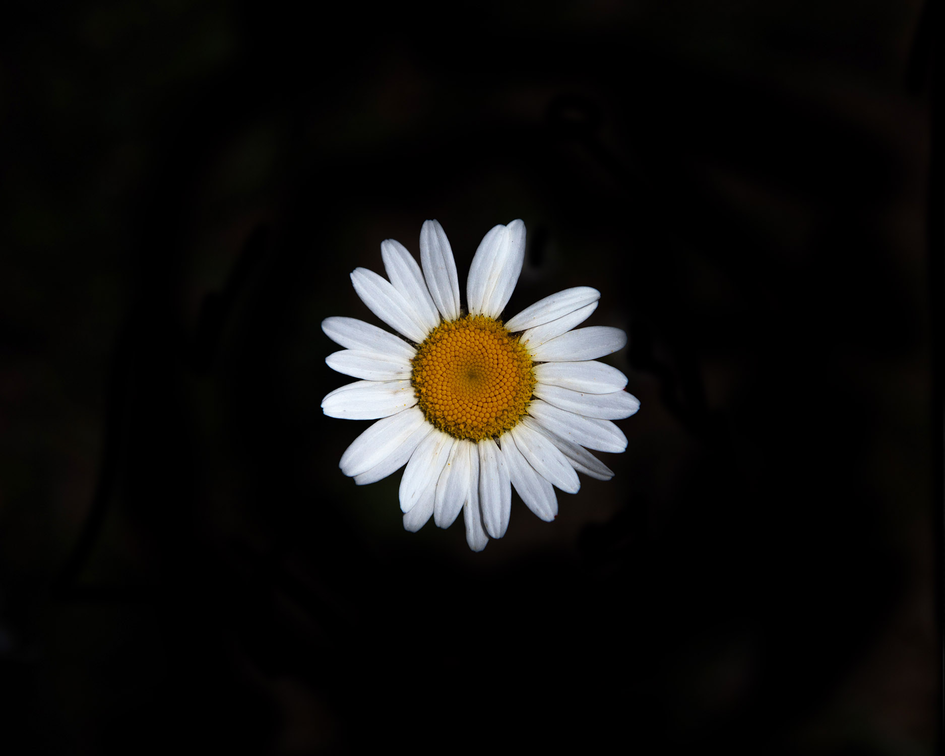 _MG_9963-daisy8.jpg