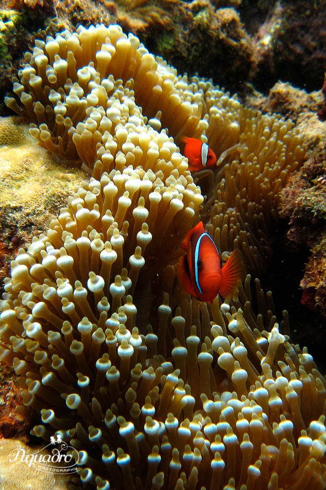 Clownfish Say Hello