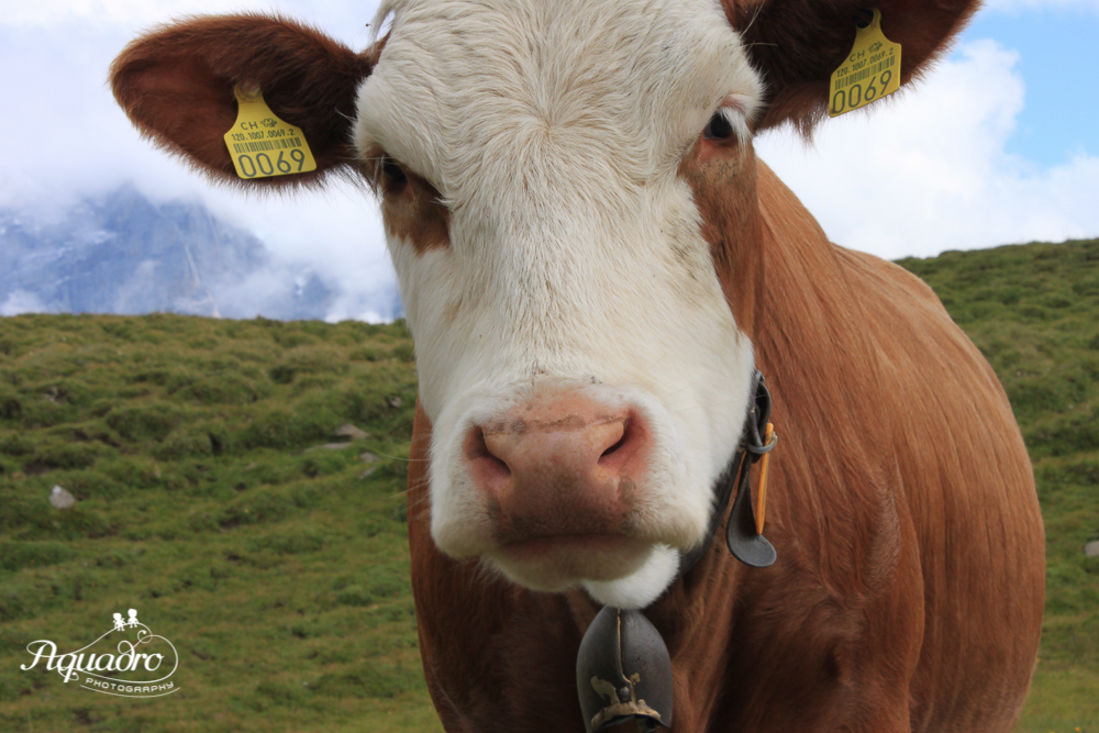 Swiss Cow