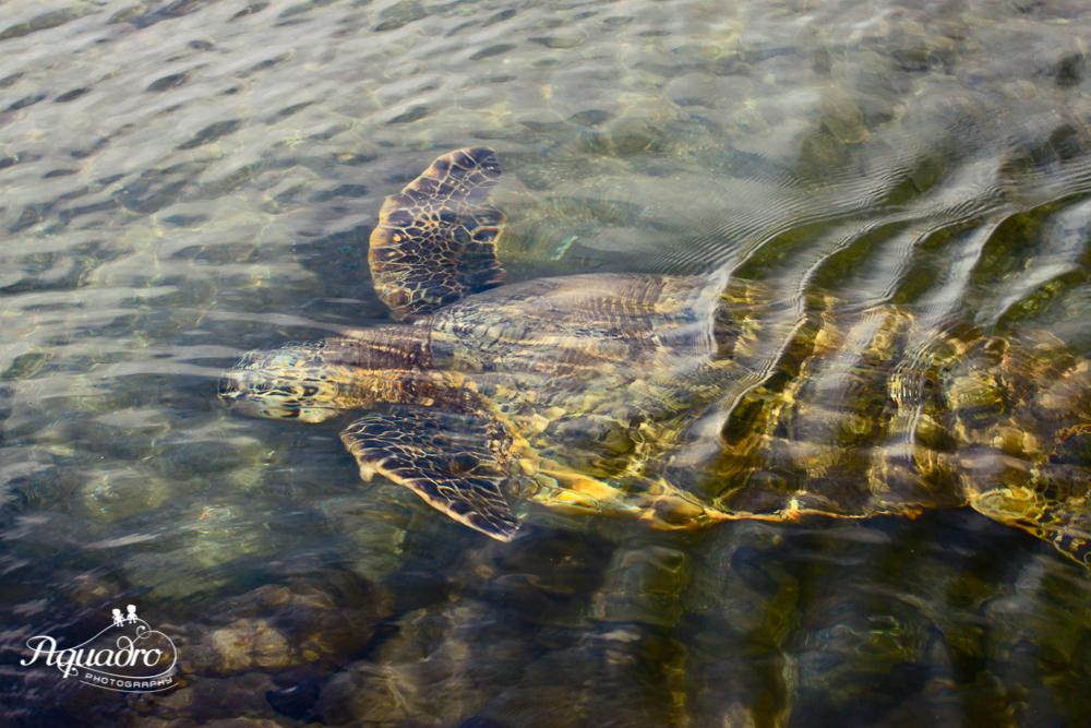 Sea Turtle Hello