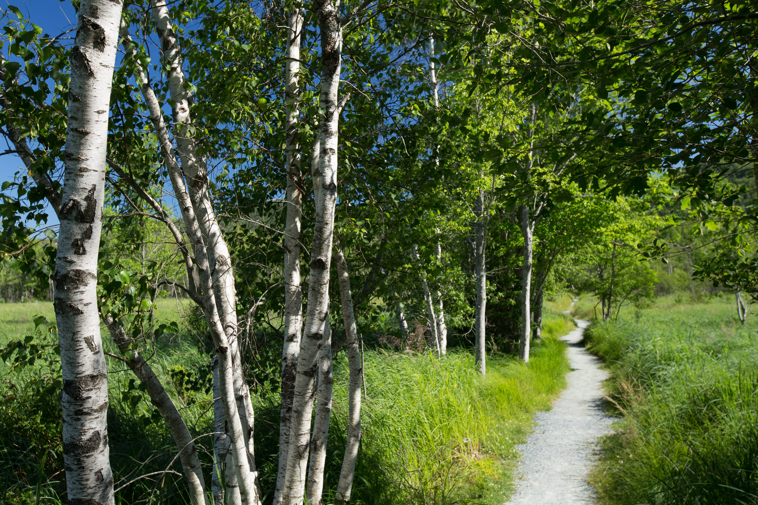 Birch Trees in Acadia