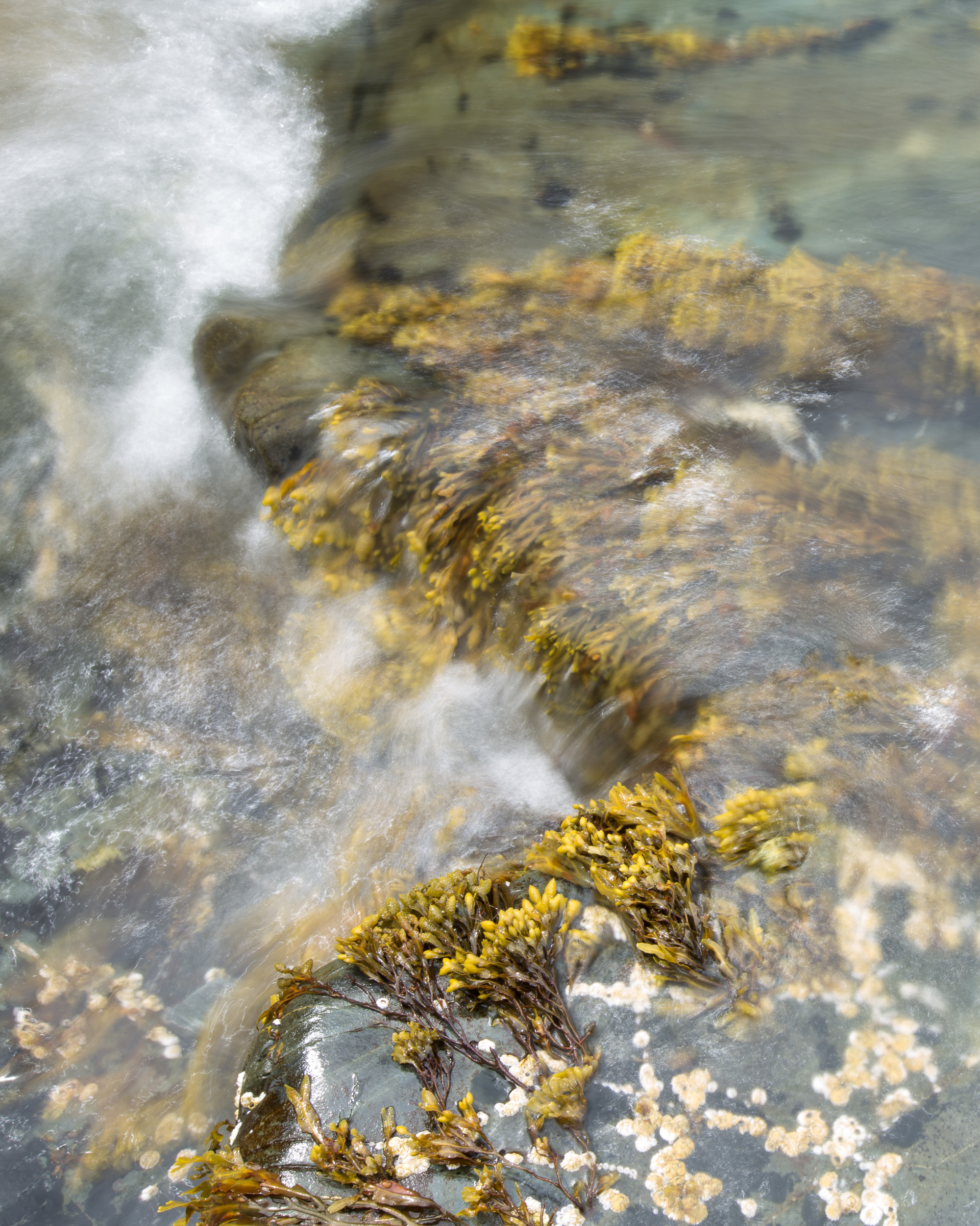 Kelp in Ocean Wave