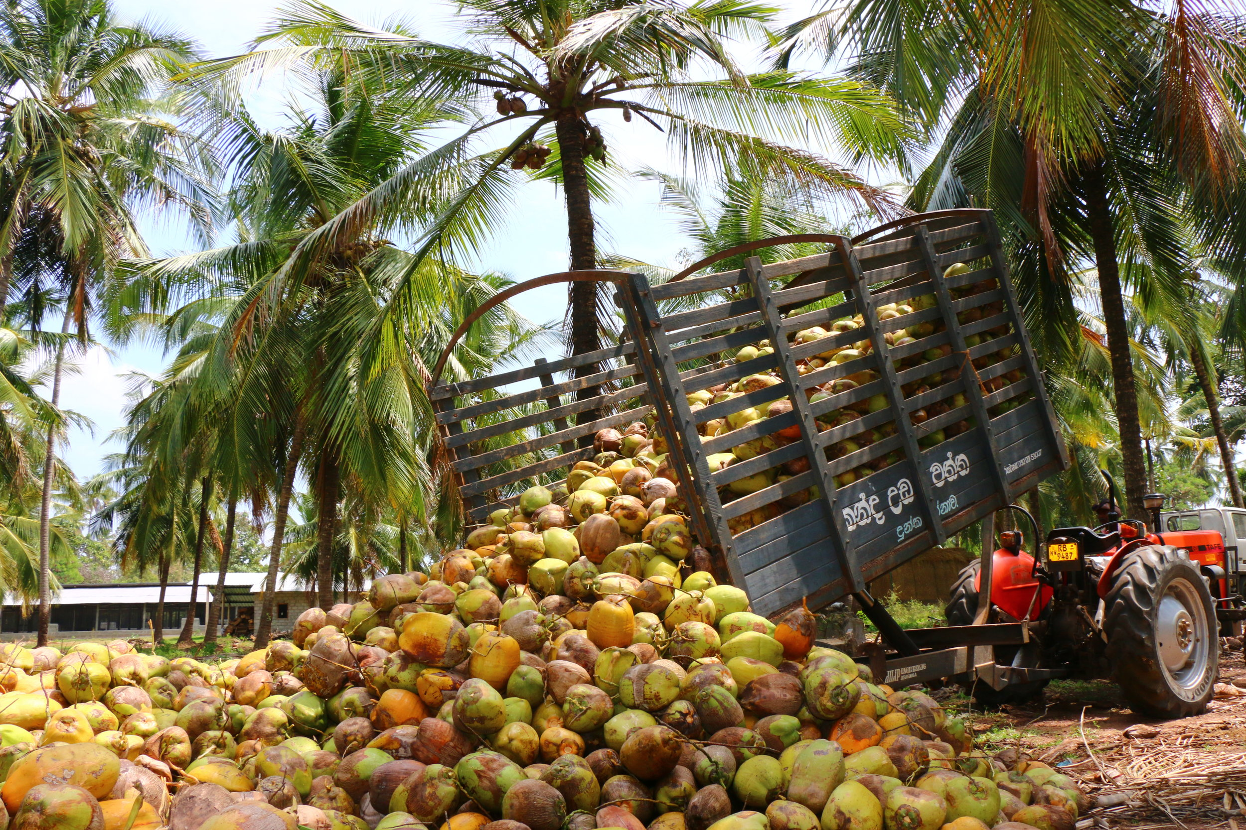 Loads of Coconuts copy.JPG