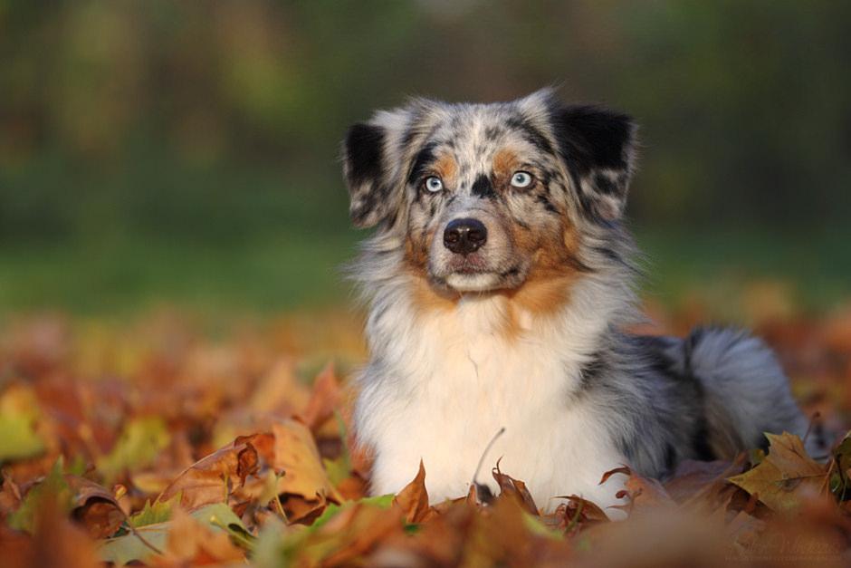 australsk gjeterhund.jpg