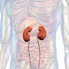 Adrenal Glands.png
