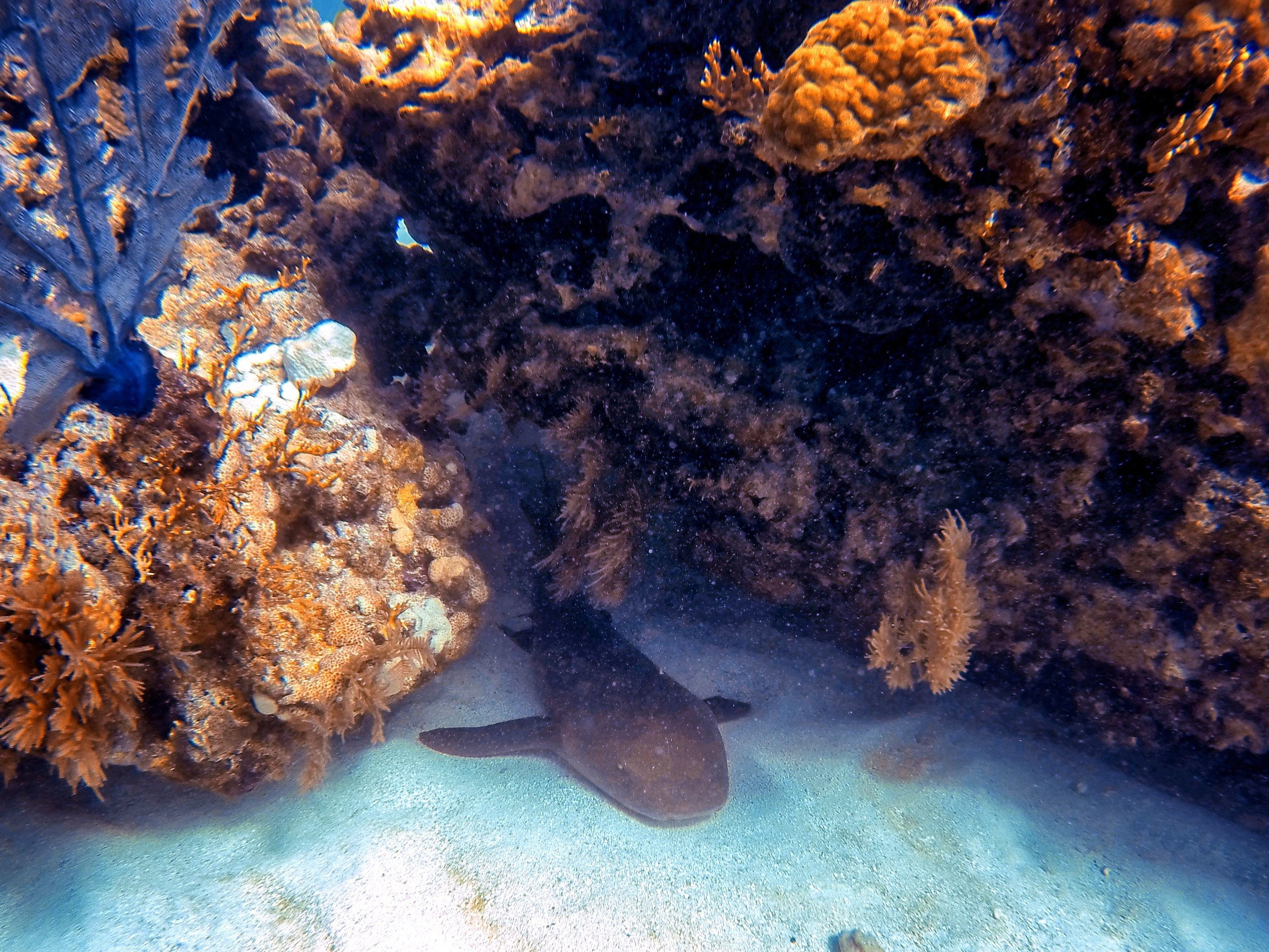 Check out this nurse shark sleeping under the molasses reef