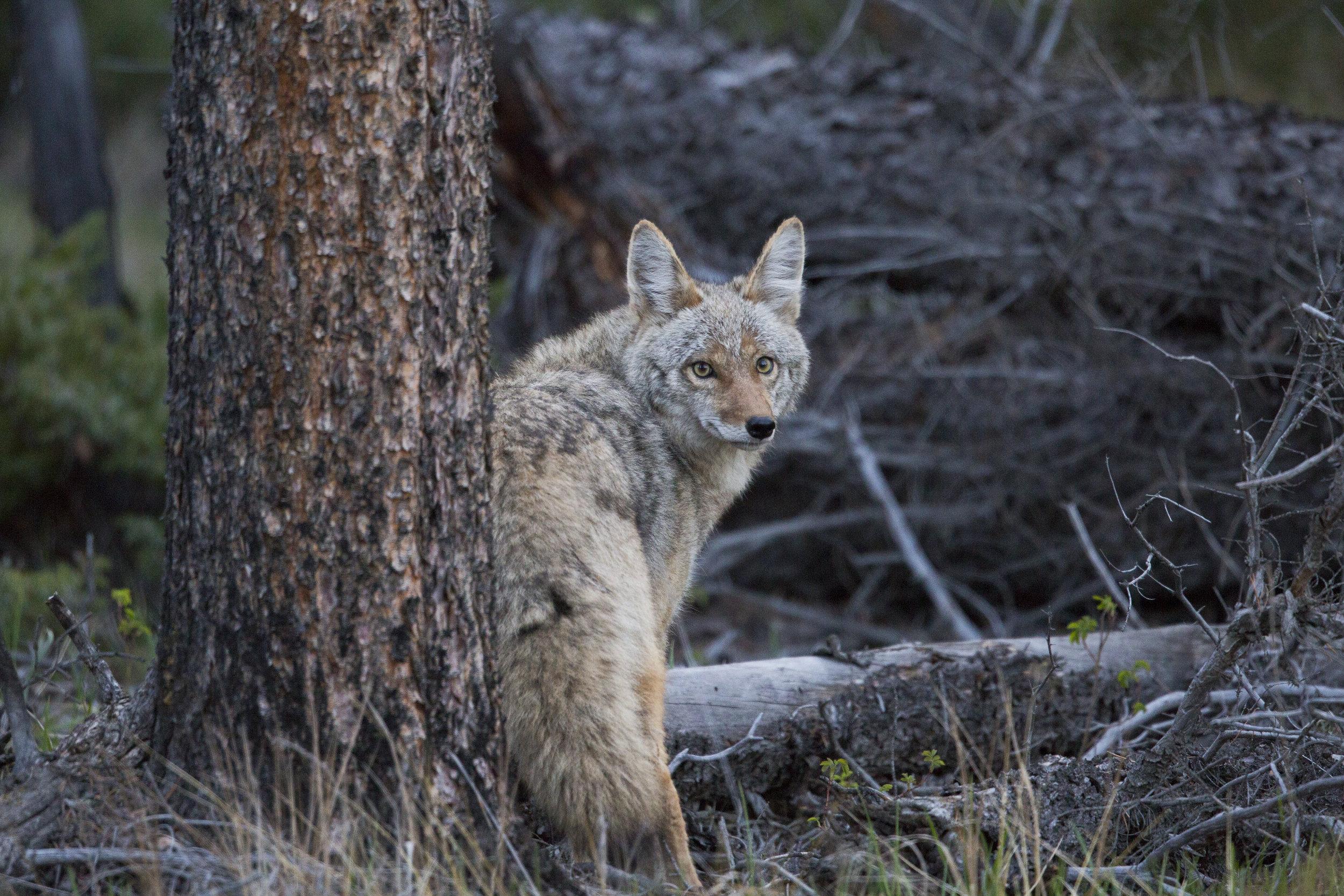 Coyote1 (1 of 1).jpg