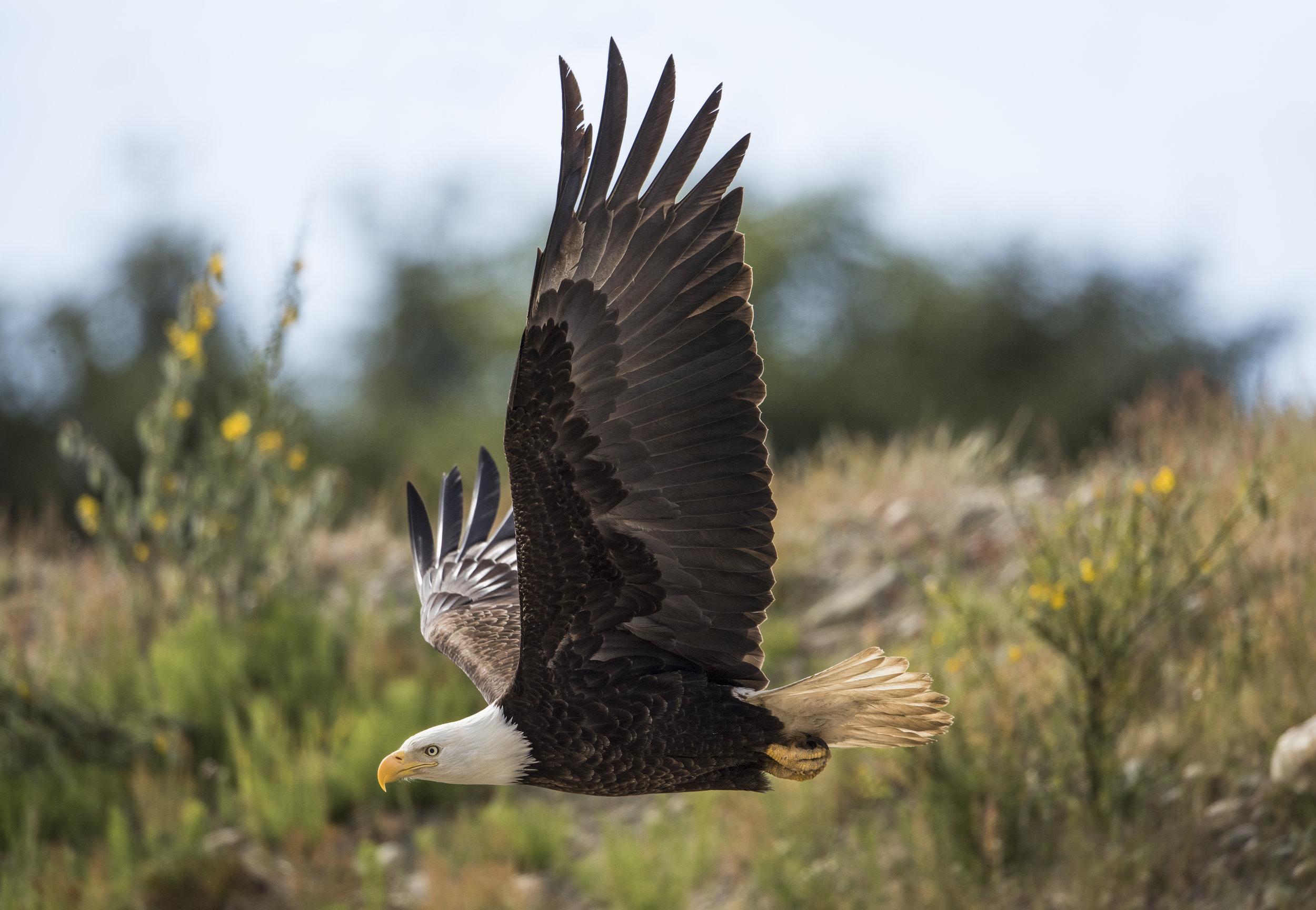 Eagle 23.jpg