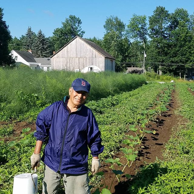 Lucio working in Native Joe's Farm on a row of pumpkin plants. Our #asparagus in the background has grown to fern now and will be availabe in the #icecreamstand next spring. For now its the incredible #herrellsicecream !