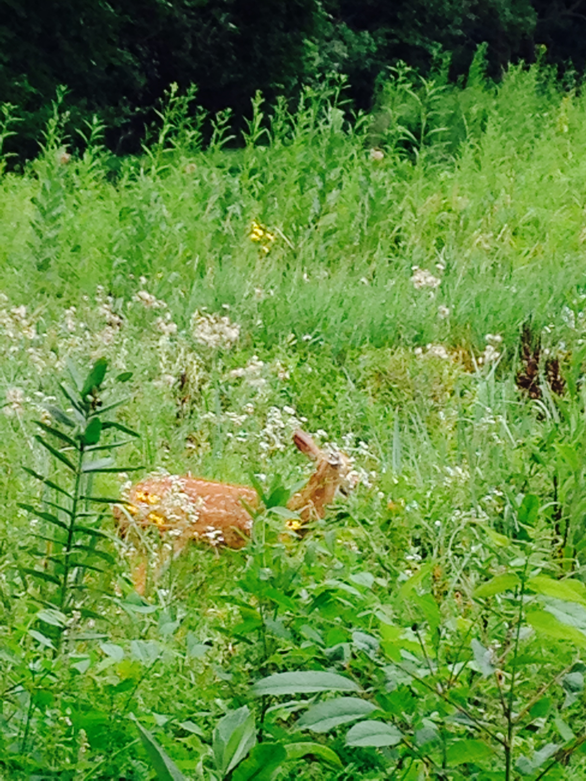 fawn in grasses.jpg