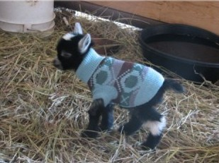 baby goat in sweater.jpg