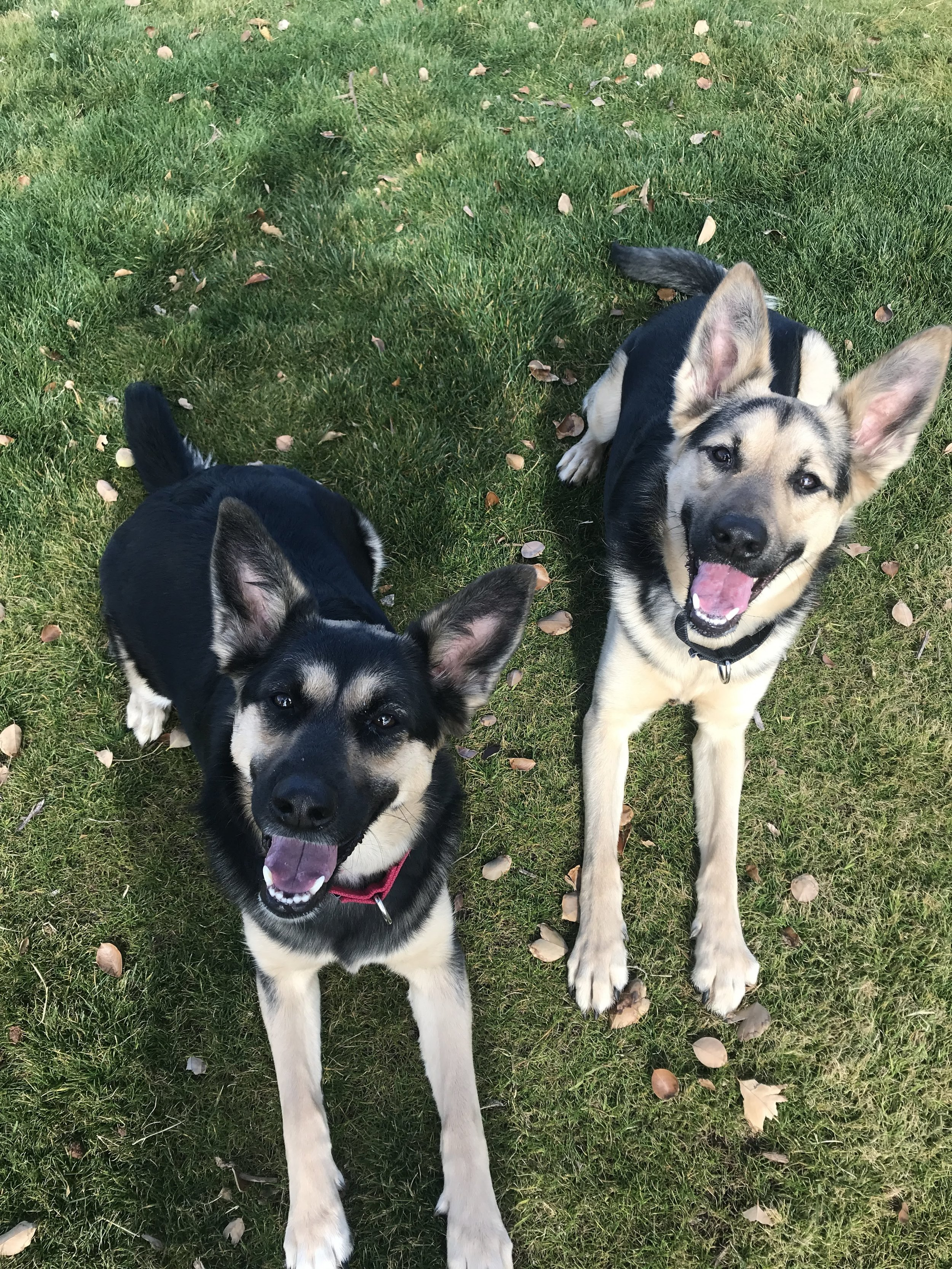 Panzer and Zelda were enrolled in our board and train program to learn obedience and proper manners. They wanted to learn how to be on their best behavior prior to the arrival of a beautiful baby girl!