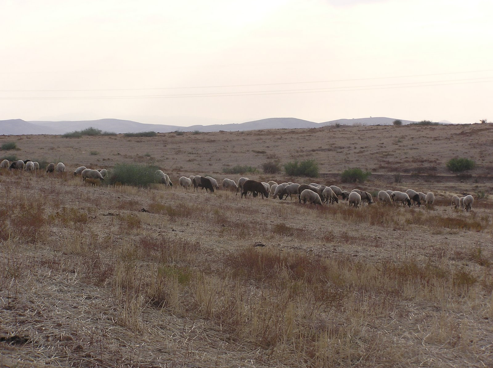 Our uncle's sheep grazing on a summer evening in Tunisia (photo taken in 2006)