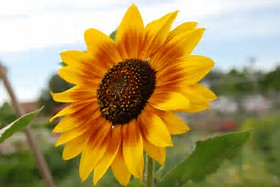 Sunflower.png