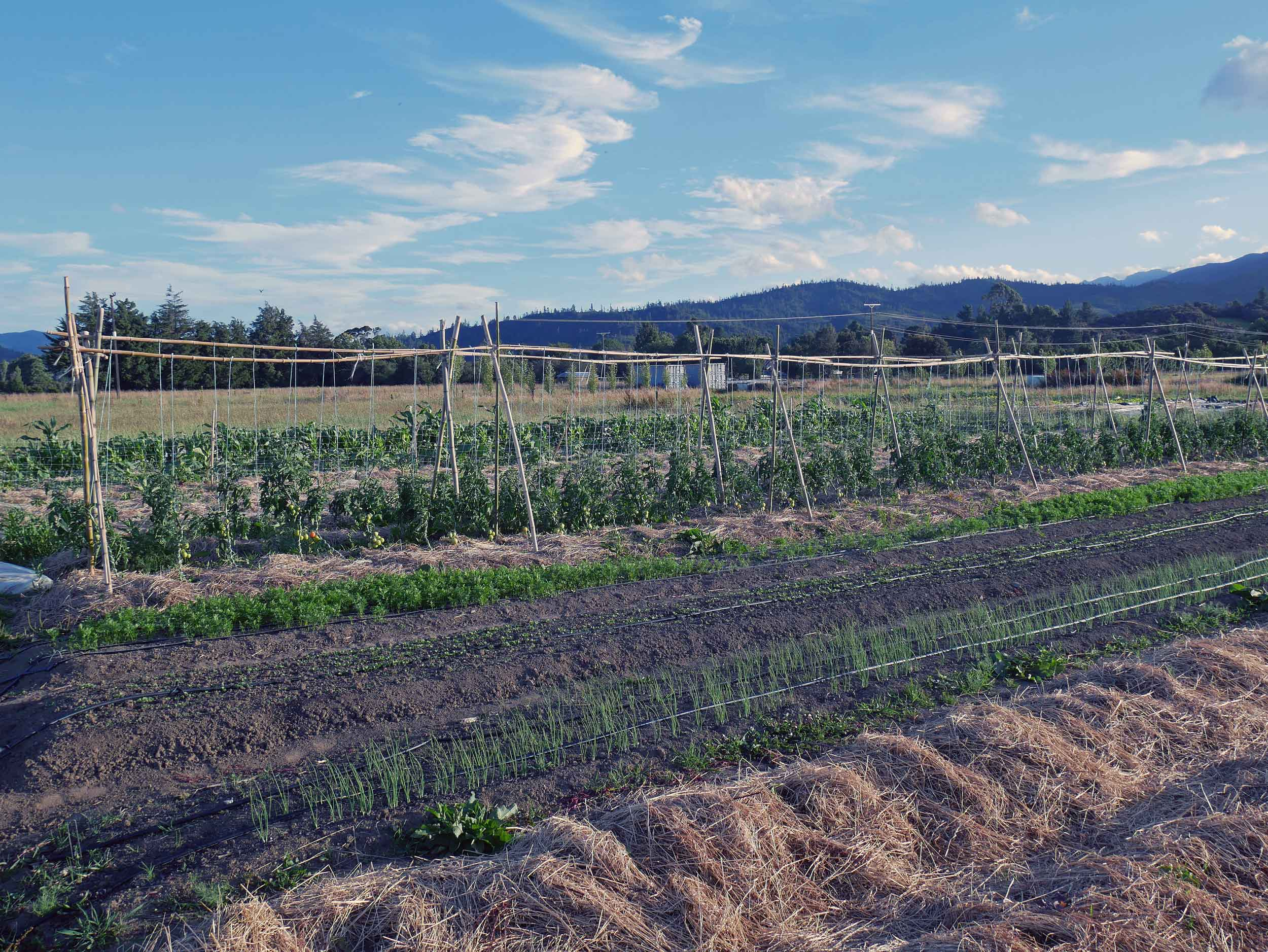 Puramahoi Fields is growing lots of tomatoes, which do not like the NZ weather, by tying the vines up on trellises to expose to the sun and keep them dry.