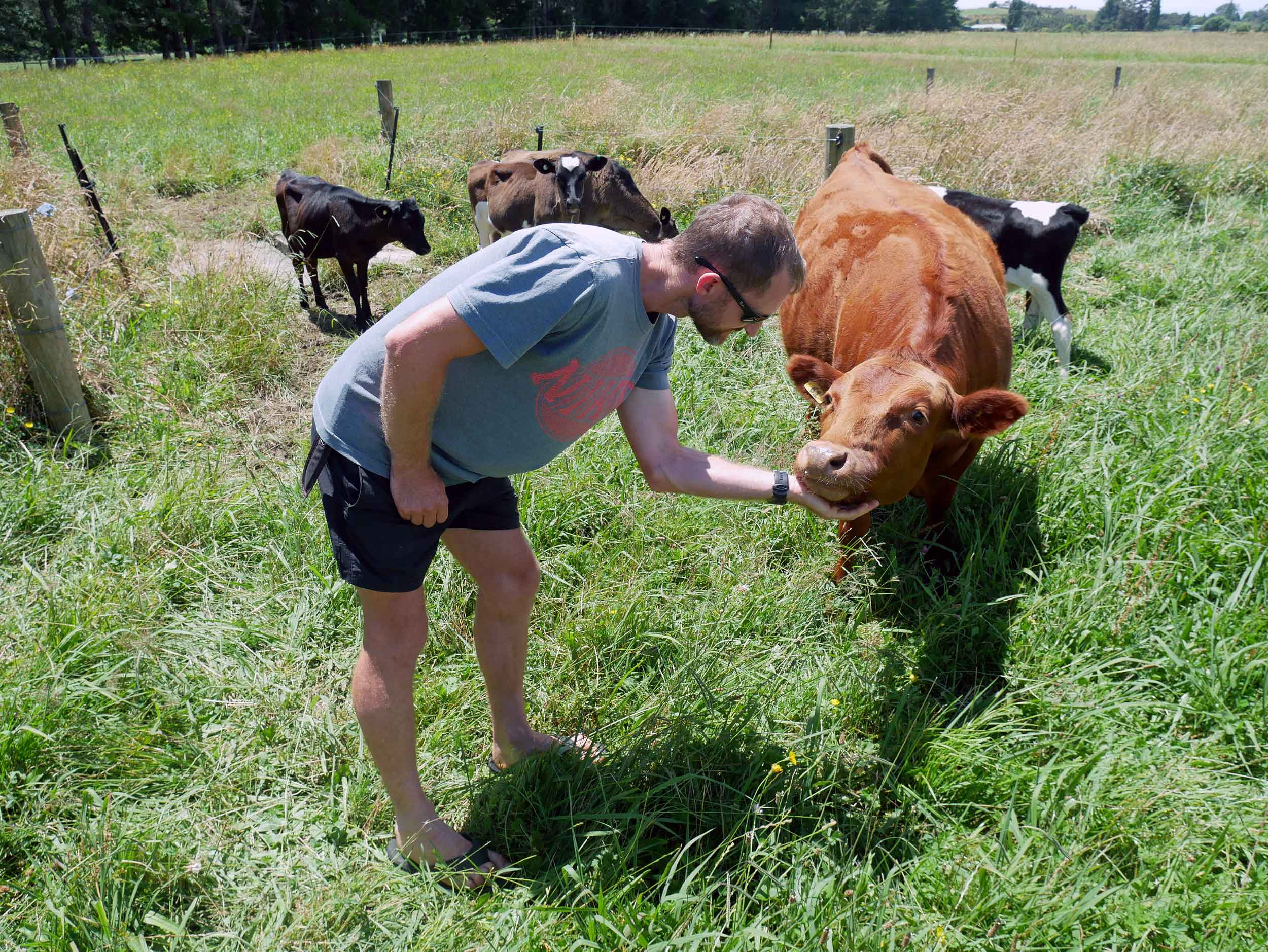 Shane introduces us to the cows of Puramahoi Fields... meet gorgeous Dexter (also the breed).